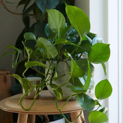 可以吸收甲醛的植物_NASA 研究: 種植室內植物 可吸收空氣中 60% 有害氣體 加拿大中文 ...